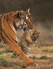 china tiger 2